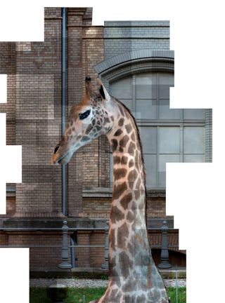 Ilit Azoulay, Stuffed Giraffe, 2013, photograph from the Cabinet of Curiosities, me* Collectors Room, Berlin, detail from the installation Implicit Manifestations