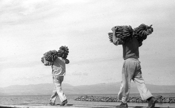Banana harvest/Photo: Naftali Oppenheim