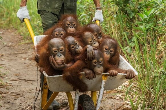 A keeper at IAR transports a group of juvenile orangutans by wheelbarrow to a patch of forest where they will learn skills for the wild International Animal Rescue (IAR) Ketapang West Kalimantan Province Island of Borneo Indonesia